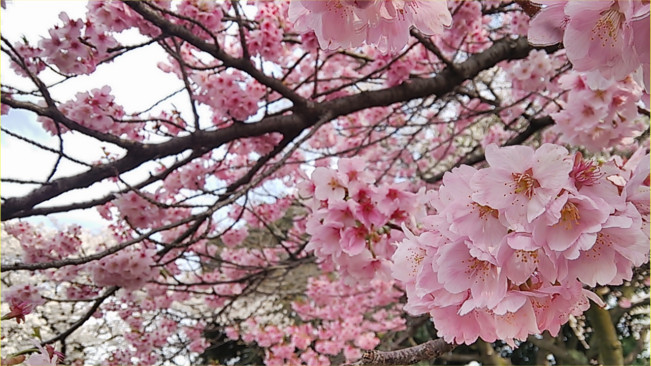 桜 2018