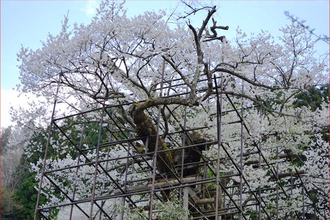 樽見の桜2018