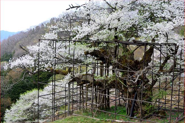樽見の桜 4月3日